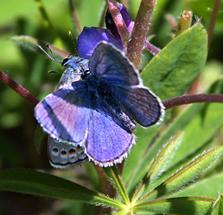 bluebutterfly3