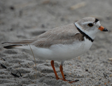 Piping Plover_NHFG Brendan Clifford_OK To USE (1)