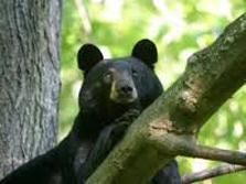 kilham bear cub 2