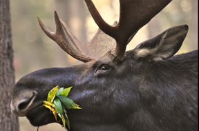 Successful Moose Permit Auction for Wildlife Heritage Foundation of NH